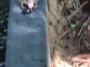 Frog Vs Defensive Beetle