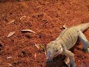 Pet Iguana Absolutely Loves Raspberry!