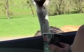 Kid's Really Amused At Feeding An Ostrich!