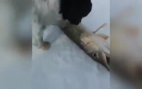Almost Dead Fish Springs Back To Life