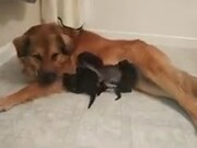 Doggo Adopts Orphaned Kittens!