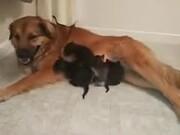 Doggo Adopts Orphaned Kittens!