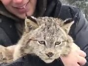 Cat Lovers, Here's A Purring Lynx For You!