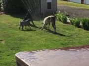 Dogs Beating The Heat With The Garden Sprinklers!