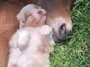 Absolutely Adorable Foal And Puppy Sleeping!