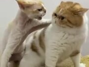 What Are These Two Cats Pissed About?