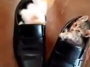 Kitten Finally Manages To Get Into Shoe