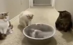 A Chinchilla Bathes, While The Cats Watch