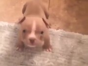 Small Little Puppy Is Getting Angry!
