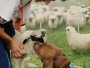 Cute Dog Loves The Little Sheep!