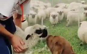 Cute Dog Loves The Little Sheep!