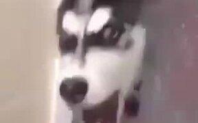 Little Husky Puppy Goes A Little Crazy!