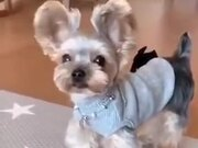 This Yorkshire Terrier Is All About It's Ears!