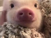 Cutest Little Piglet Ever!
