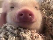 Cutest Little Piglet Ever!