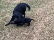 So Cute! Small Puppy And Dog Play Together!