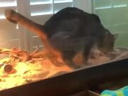 Cat Goes Into Lizard's Tank And Does It's Thing