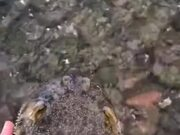 Guy Rescues A Puffer Fish!