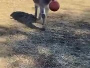 Donkeys Love Playing Fetch As Much As Dogs!