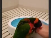 Little Parrot Is Really Excited For It's Bath!