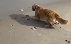 Dog Trying To Retrieve It's Ball From The Waves
