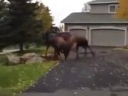 """""""Maa, There Is Some Moose Or Buffalo!"""""""