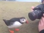 Puffins Are Really Into Socializing