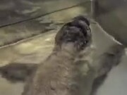 Cute Rescued Baby Seal Takes A Bath!