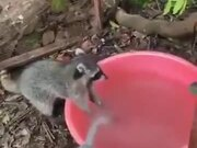 Even Raccoons Know Better To Wash Their Hands!