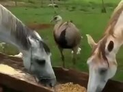 Horse Doesn't Like Sharing A Food With An Ostrich