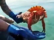 Huge Hermit Crab Goes Back Into It's Shell
