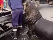 Sea Lion Patiently Waits For His Cut Of Fish