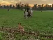 Dog Gets To Meet The Llamas!