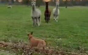 Dog Gets To Meet The Llamas!