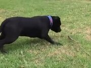 Dog Very Cautious About A Feather!