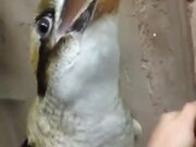 Kookaburra, The Bird That Laughs!