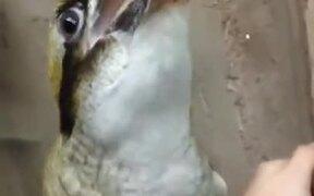 Kookaburra, The Bird That Laughs!