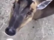 Cute Deer Eats Some Banana!