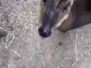 Cute Deer Eats Some Banana!