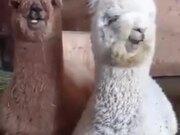 Cute Baby Alpacas Chilling