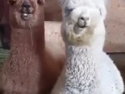 Cute Baby Alpacas Chilling