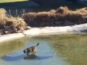 Cat Tries To Catch Fish Under Frozen Lake