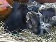Hen Incubating Kittens