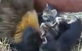 Hen Incubating Kittens