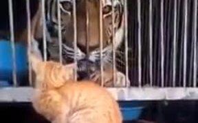 Brave Cat Scaring Tiger