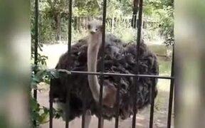 Ostrich Singing Punjabi Song