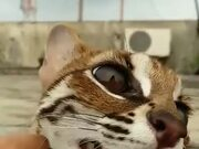 Never Seen A Margay As A Pet?