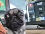 The Craziest Pug