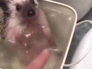 A Happy Bathing Hedgehog