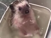 A Happy Bathing Hedgehog